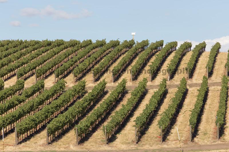 Vineyard - Walla Walla 21