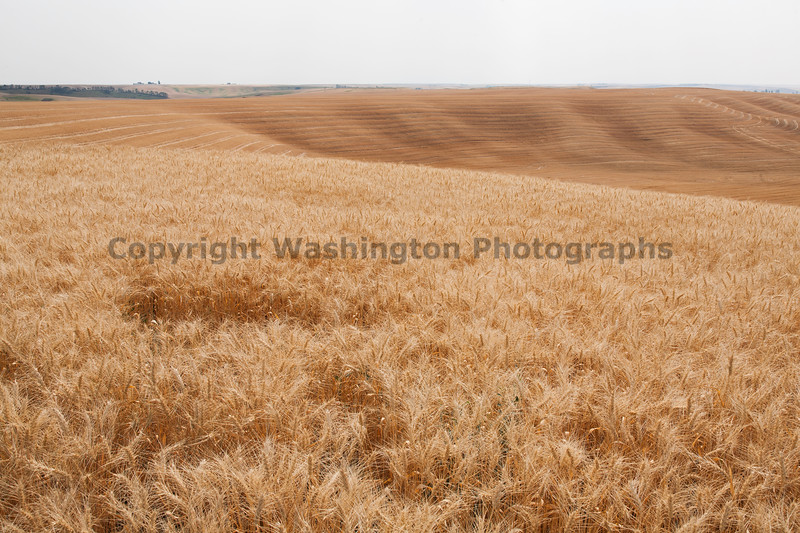 Wheat Fields in Summer 56