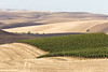 Vineyard - Walla Walla 19