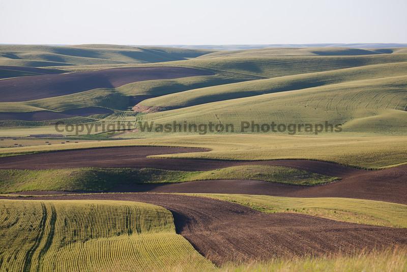 Wheat Fields in Spring 085