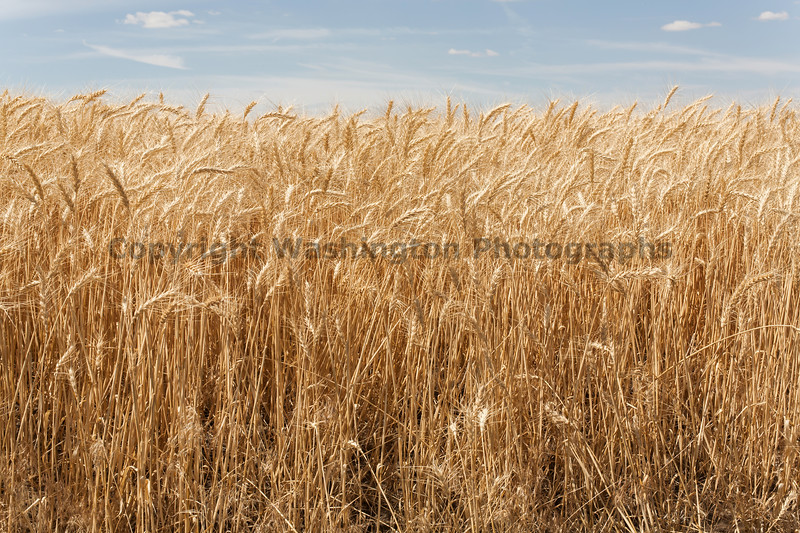 Wheat Fields in Summer 78