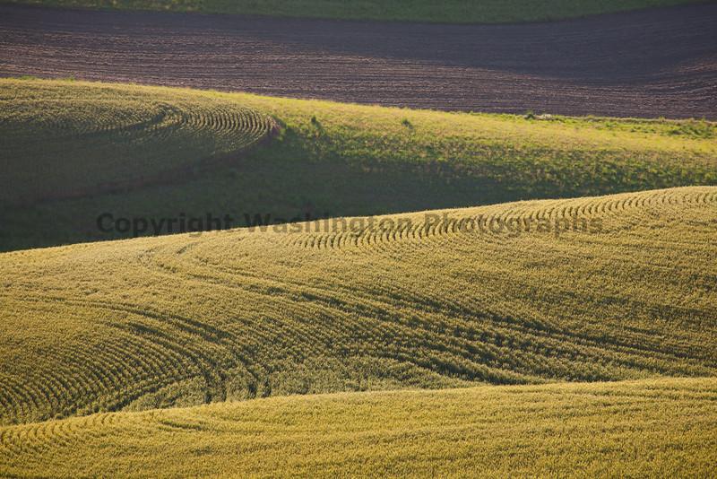 Wheat Fields in Spring 101