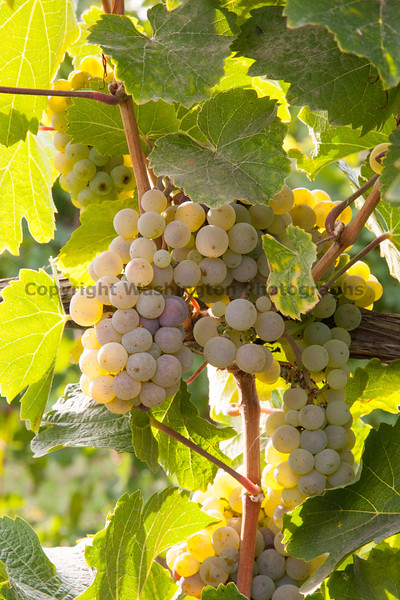 Vineyard Grapes 102