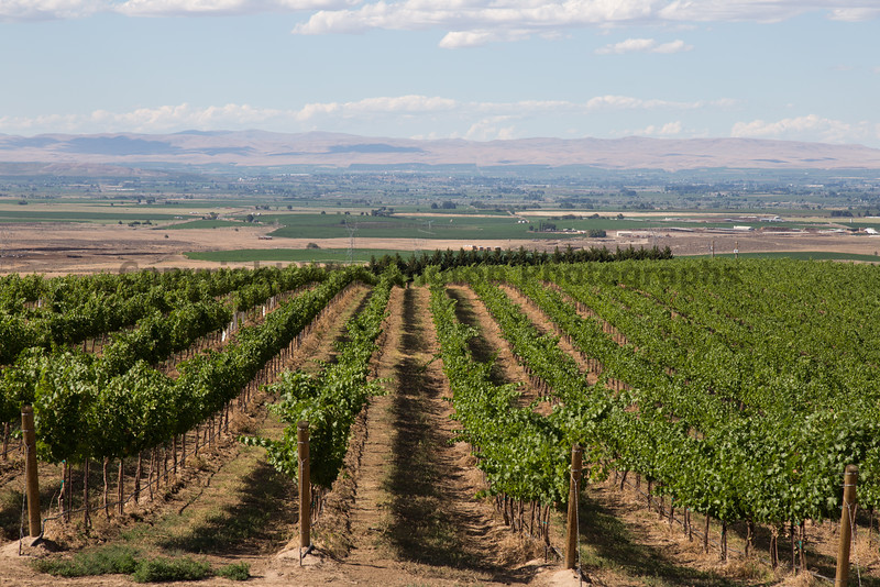Vineyard - Yakima Valley 10
