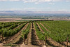 Vineyard - Yakima Valley 10