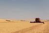 Wheat Harvest 174