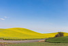 Canola Fields 51