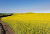 Canola Fields 60