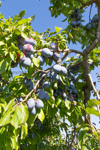 Orchard - Plums 13