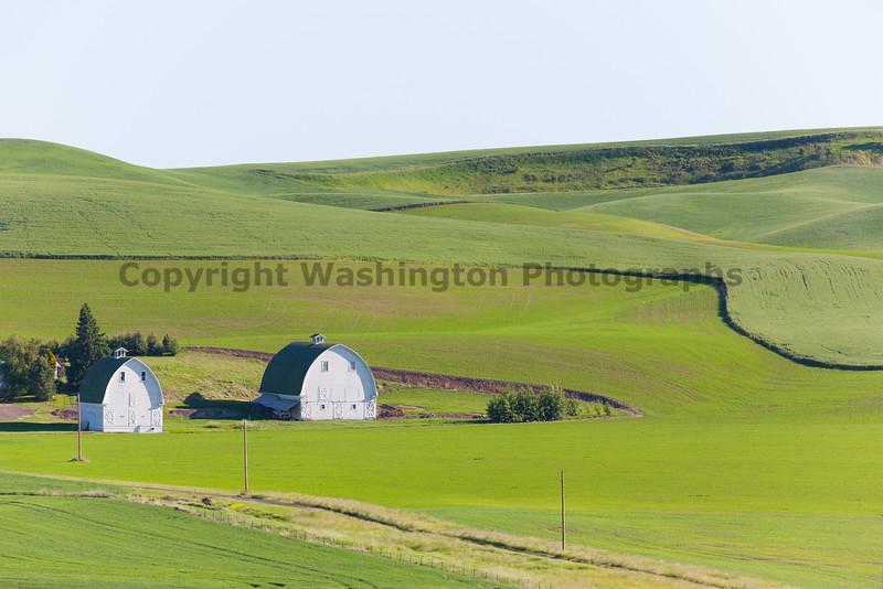 Wheat Fields in Spring 052