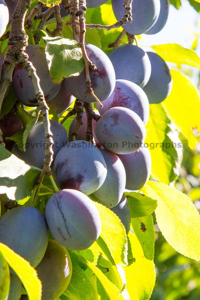 Orchard - Plums 14