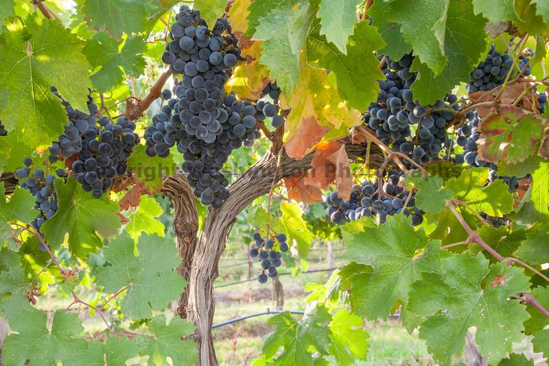 Vineyard Grapes 133
