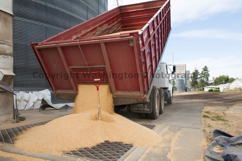 Wheat Harvest 131