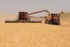 Wheat Harvest 172