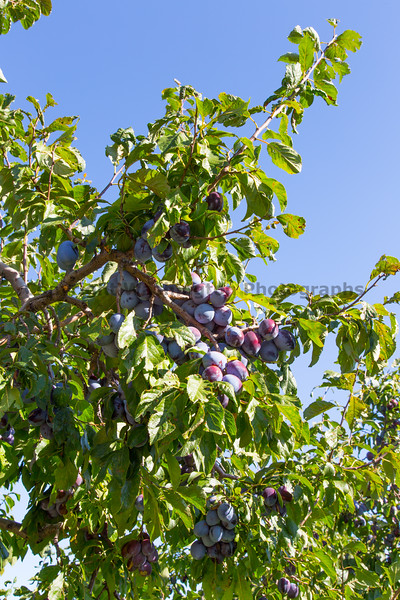 Orchard - Plums 11