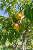 Orchard - Peaches 12