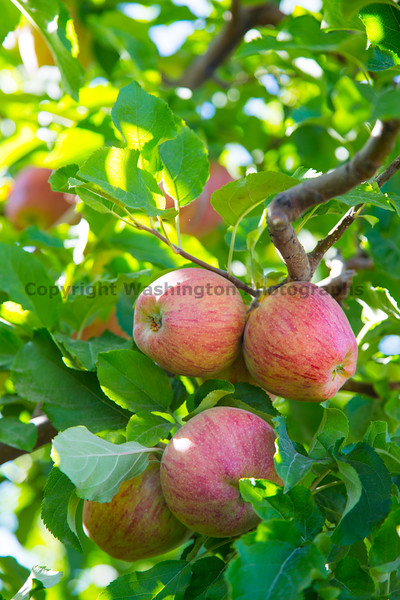 Orchard - Apples 11