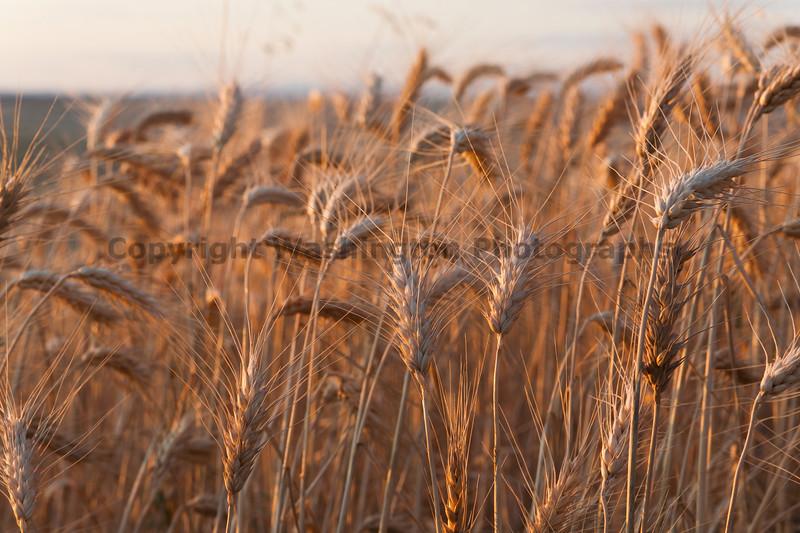 Wheat Fields in Summer 71