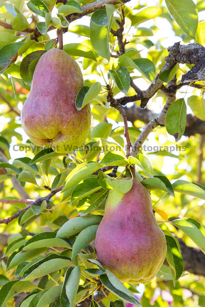 Orchard - Pears 12