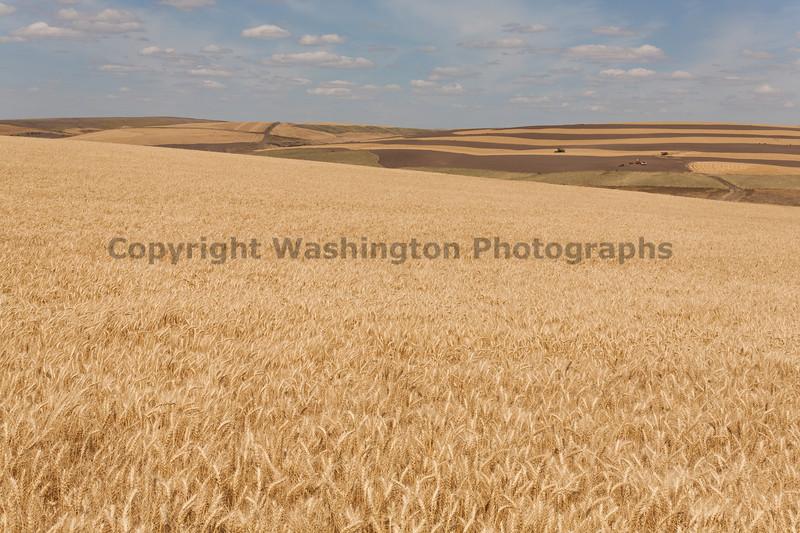 Wheat Fields in Summer 76