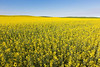 Canola Fields 46