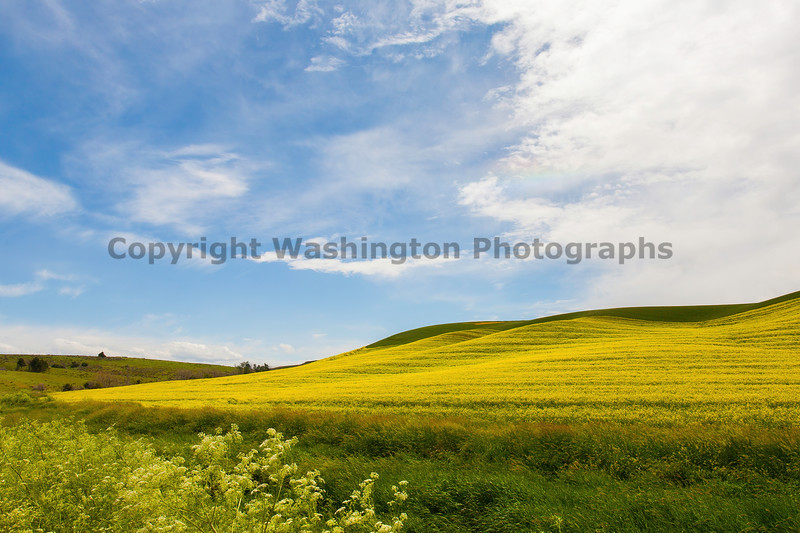 Canola Fields 34