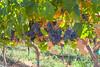 Vineyard - Rattlesnake Hills 111