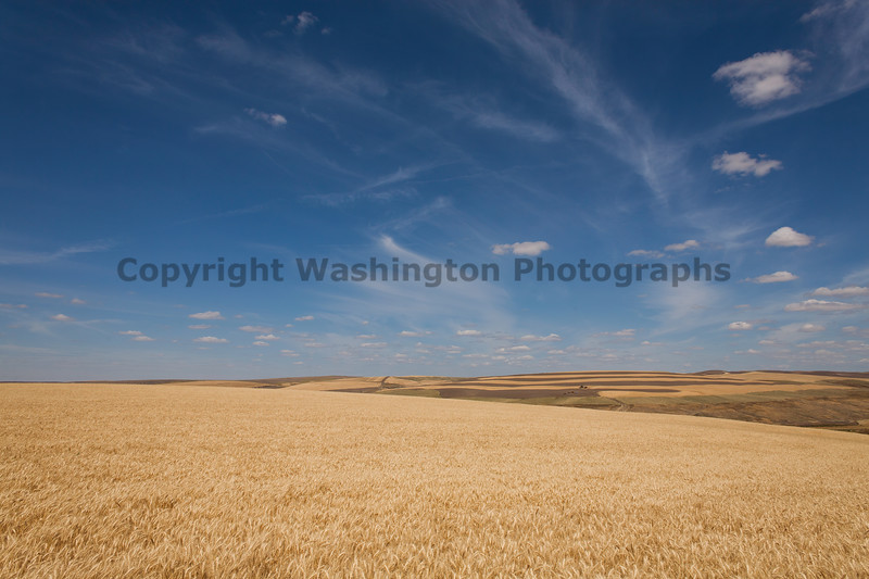 Wheat Fields in Summer 74