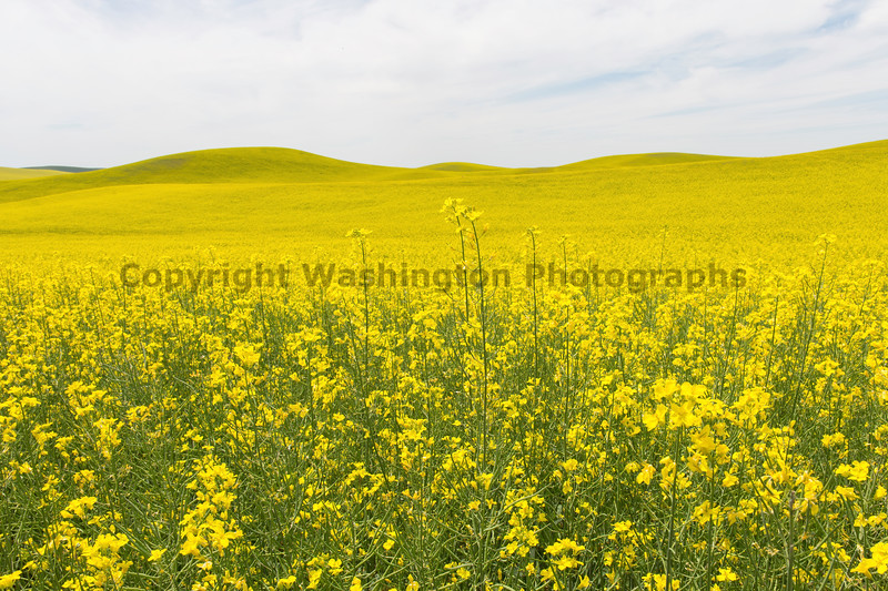 Canola Fields 69