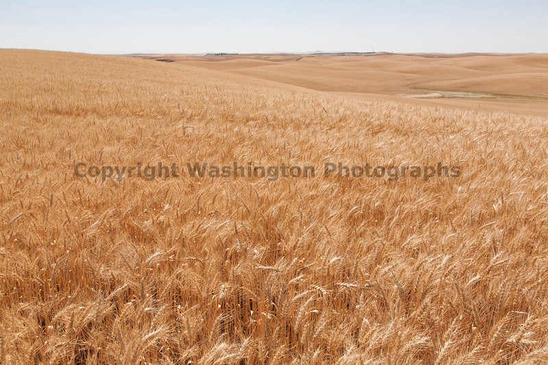 Wheat Fields in Summer 60