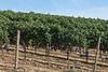Vineyard - Walla Walla 31