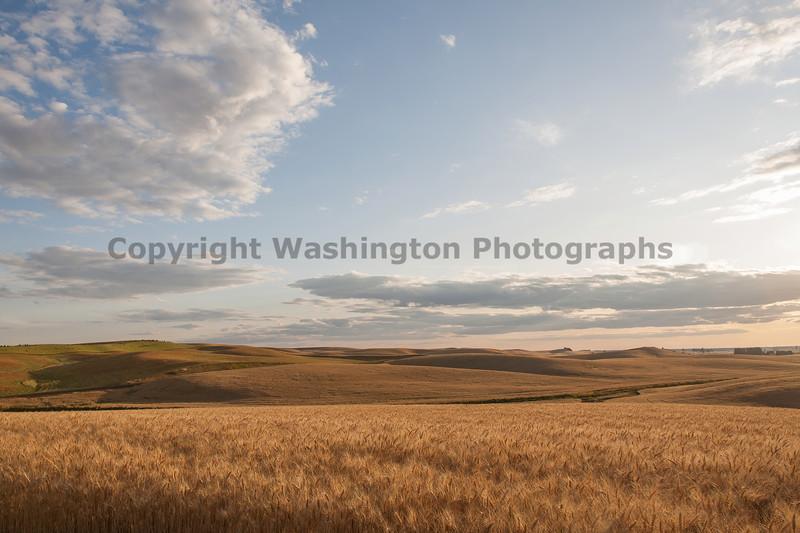 Wheat Fields in Summer 68