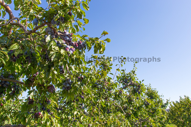 Orchard - Plums 10