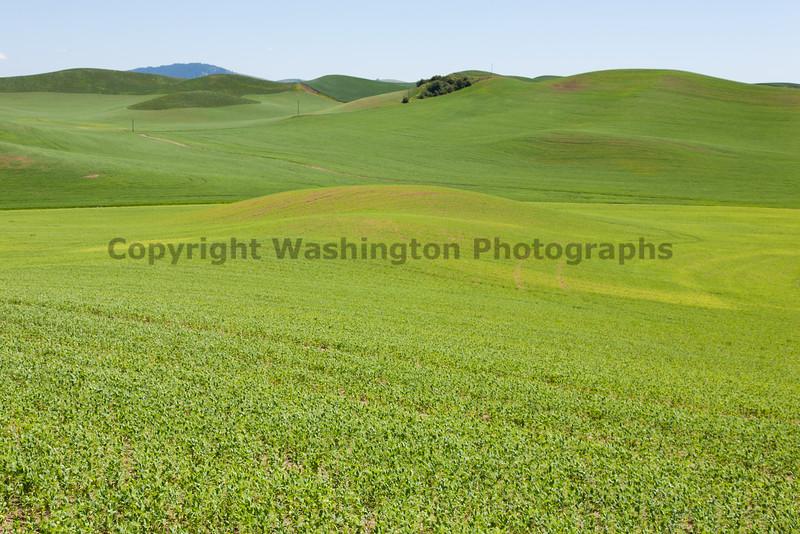 Lentil Fields 10