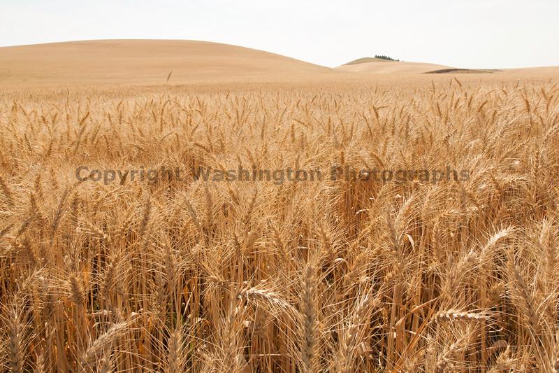 Wheat Fields in Summer 47