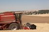 Wheat Harvest 83