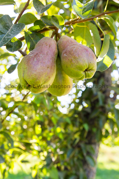 Orchard - Pears 14