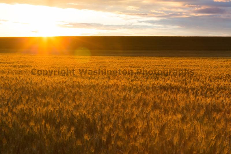 Wheat Fields Sunset 11