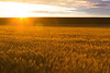 Wheat Fields Sunset 11