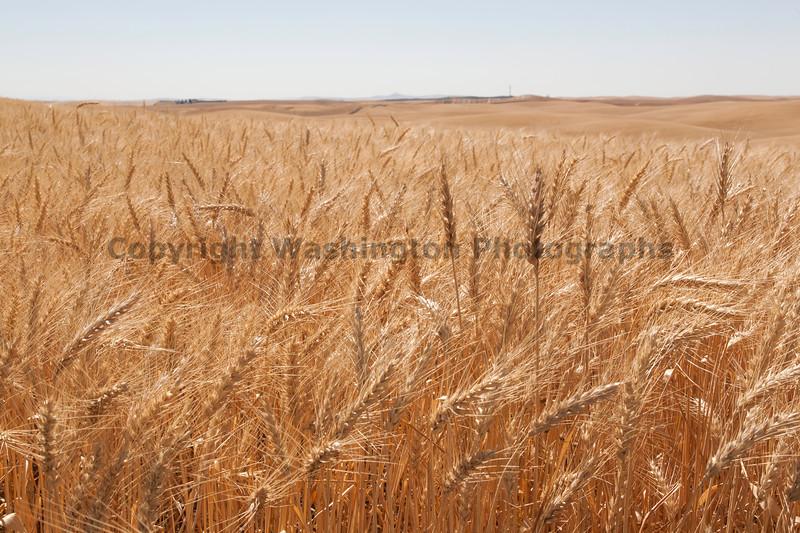 Wheat Fields in Summer 62