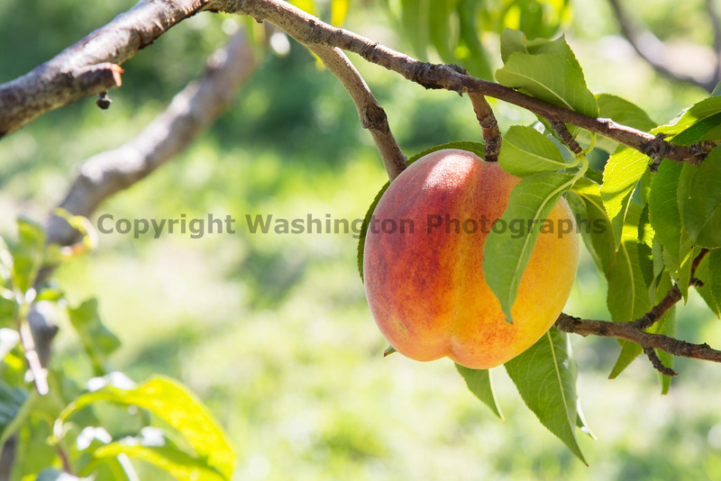 Orchard - Peaches 24