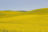 Canola Fields 62
