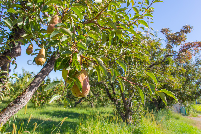 Orchard - Pears 11