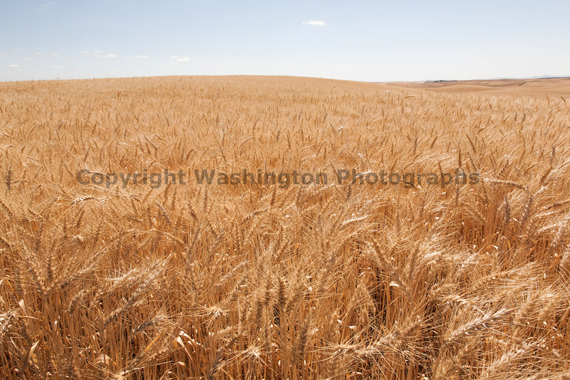 Wheat Fields in Summer 61