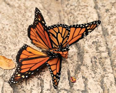 Butterfly hanky panky?