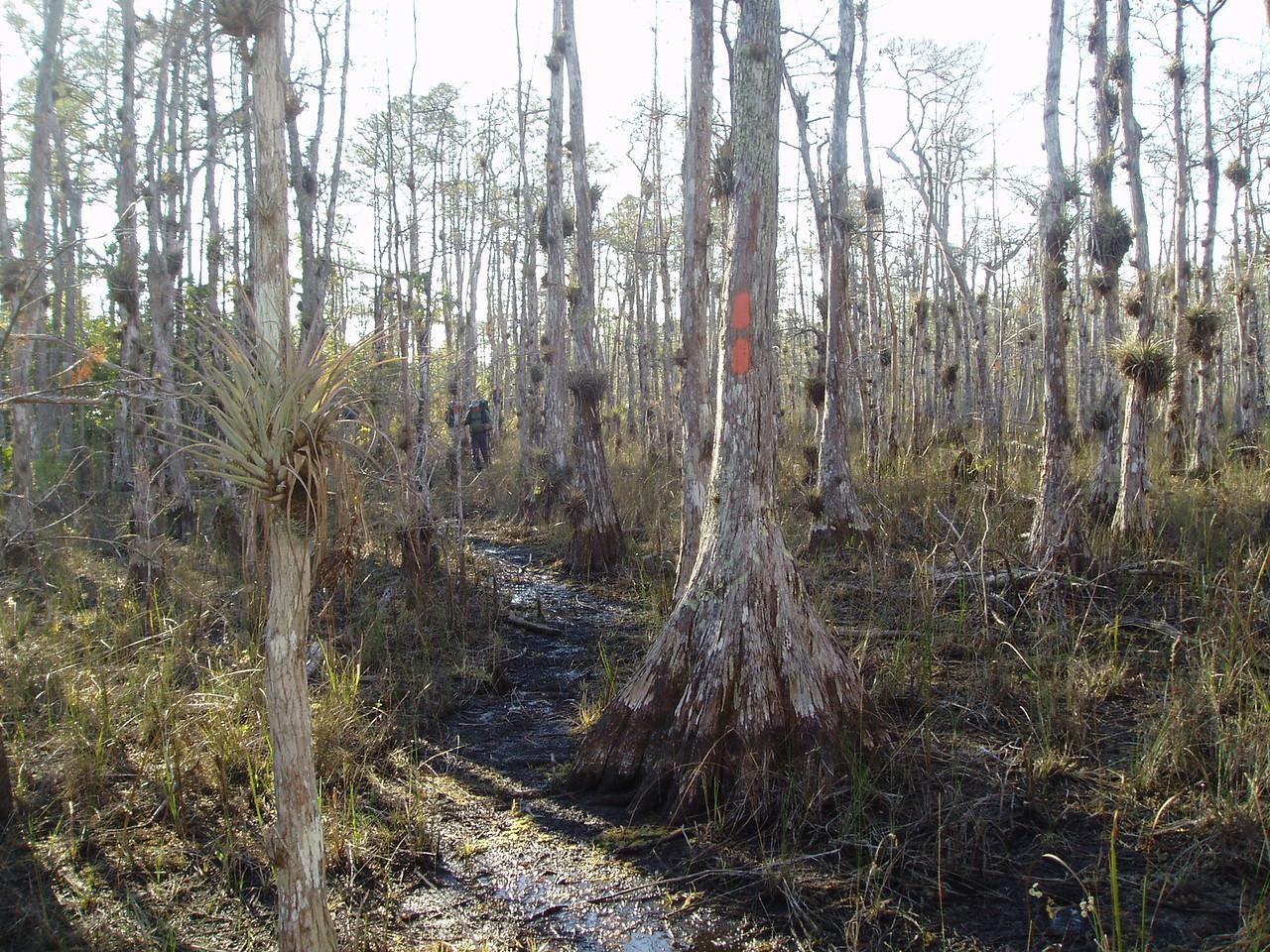 Big Cypress<br /> PHOTO CREDIT: Robert Coveney / Florida Trail Association