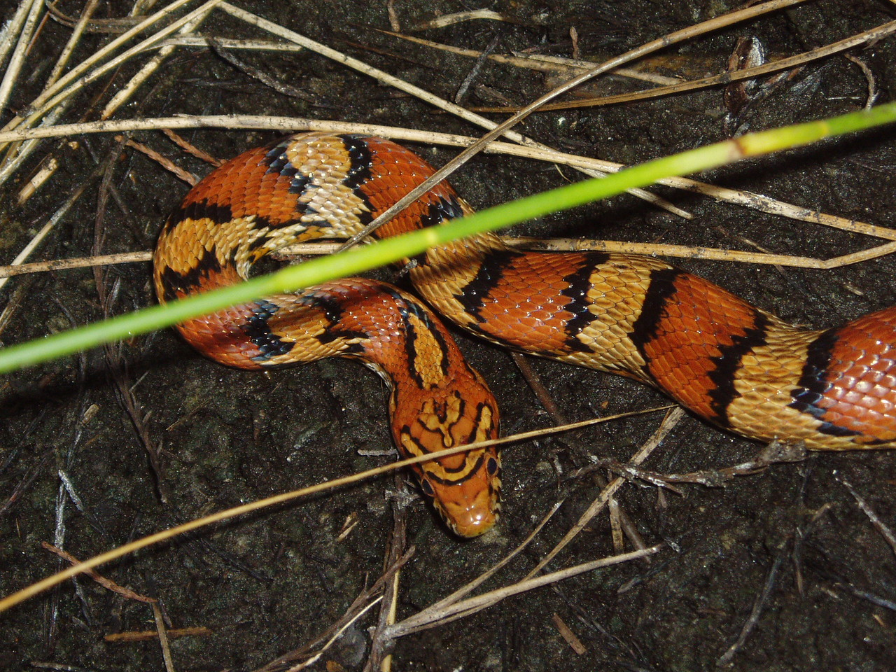 Corn snake<br /> Wading a cypress dome<br /> PHOTO CREDIT: Robert Coveney / Florida Trail Association