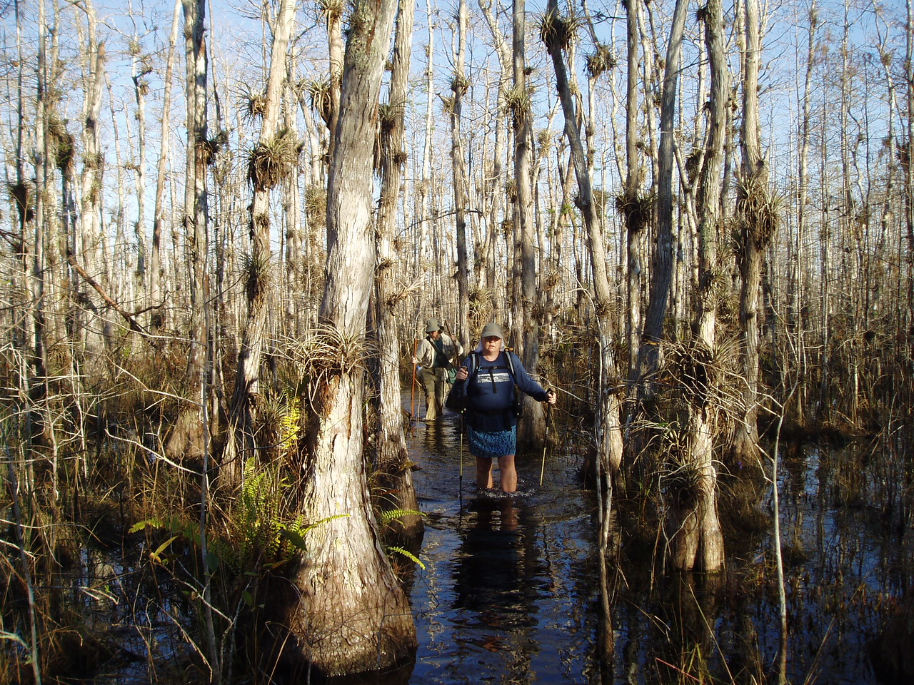 Wading a cypress dome<br /> PHOTO CREDIT: Robert Coveney / Florida Trail Association