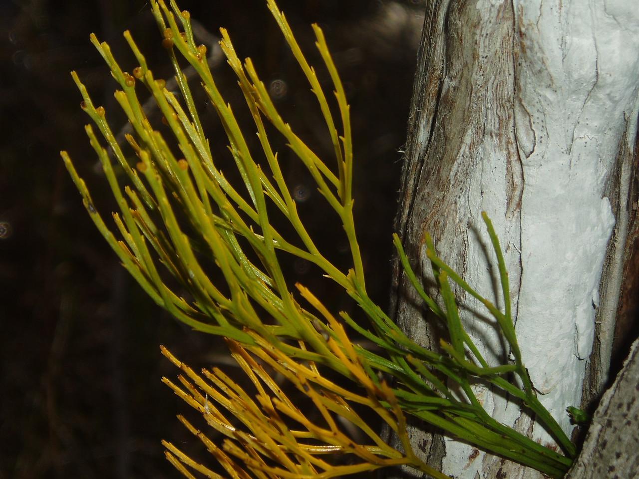 Whisk fern<br /> PHOTO CREDIT: Robert Coveney / Florida Trail Association
