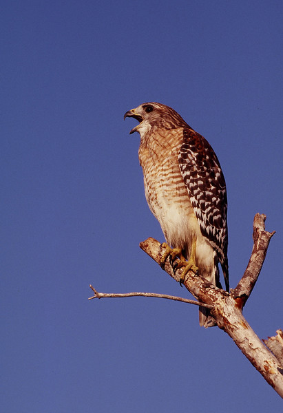 Red-shouldered hawk<br /> PHOTO CREDIT: Claudine Laabs